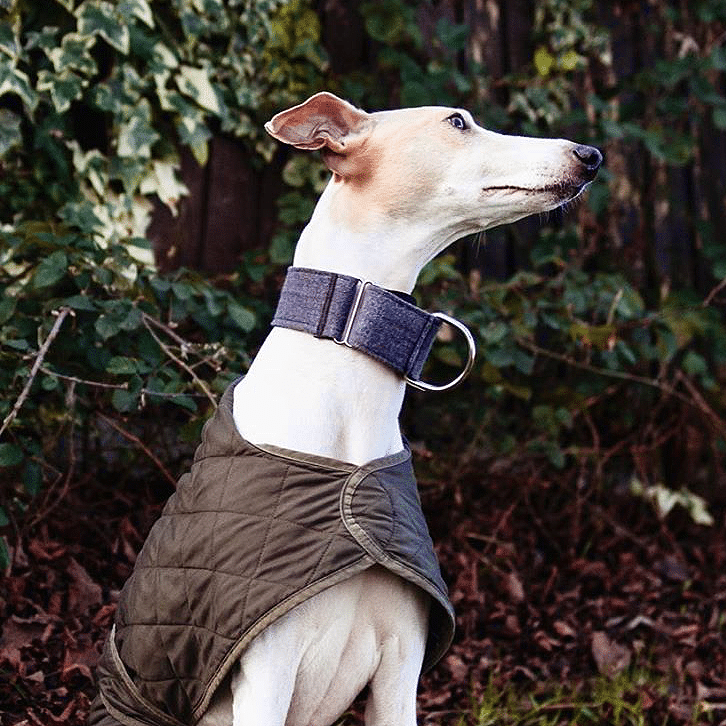 Martingale Denim-Italian, Whippets e Greyhounds